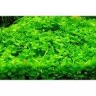 Micranthemum Monte Carlo bundle aquarium plant carpet planted