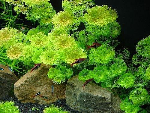 Cabomba live aquarium plants aquascaping planted tank easy