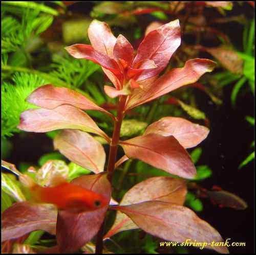 red ludwigia live aquarium plants aquascaping planted tank pond easy beginner