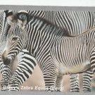 Grevy's Zebra #5