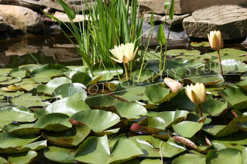 The Lilly Pad
