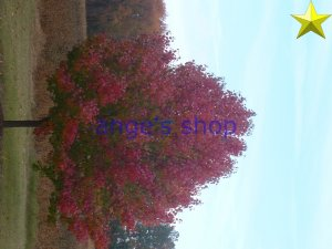 peartree-red