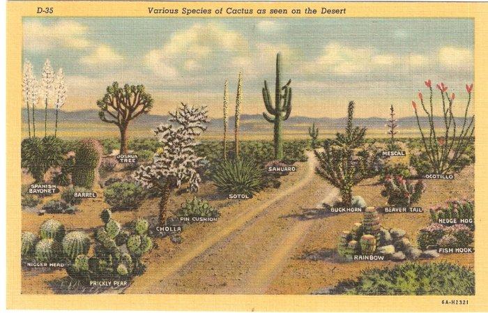 Various Species of Cactus on Desert postcard  vintage
