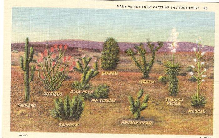 Many Varieties of Cacti Southwest Cactus postcard vintage