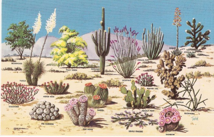 Cacti and Desert Flora Great Southwest Toschik vintage postcard