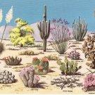 Cacti and Desert Flora Great Southwest Toschik vintage postcard