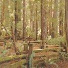 Rockefeller Grove Forest redwoods vintage postcard