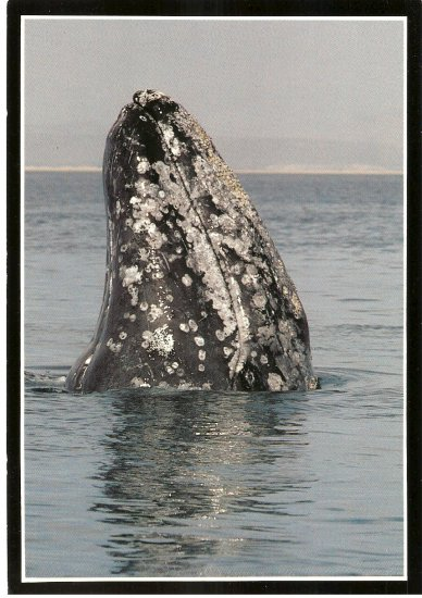 Gray Whale Grey Monterey Bay Aquarium California vintage postcard