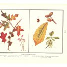 North American Oaks Color Plate Print 1936 Book
