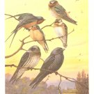 Allan Brooks Bird Portrait Swallows 1960 Purple Martin