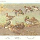 Allan Brooks Bird Portrait Surface Feeding Ducks Gadwall