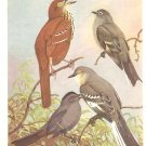 Allan Brooks Bird Portrait Mockingbird Thrasher Catbird