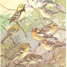 Allan Brooks Bird Portrait Wood Warblers Vintage Print 1960