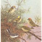 Allan Brooks Bird Portrait Gnatcatchers Kinglets Print 1960