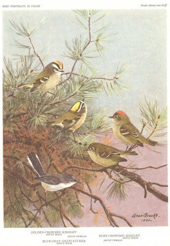 Allan Brooks Bird Portrait Gnatcatchers Kinglets Print 1960