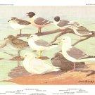 Allan Brooks Bird Portrait Gulls Terns Vintage Print 1960