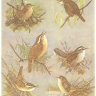 Allan Brooks Bird Portrait Wrens Vintage Print 1960