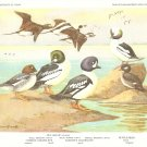 Allan Brooks Bird Portrait Diving Ducks Squaw Vintage Print