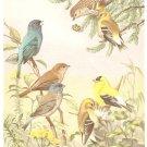 Walter Weber Bird Portrait Indigo Bunting Vintage Print 1960
