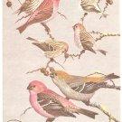 Walter Weber Bird Portrait Finch Redpolls Vintage Print 1960