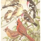 Walter Weber Bird Portrait Grosbeak Finch Vintage Print 1960