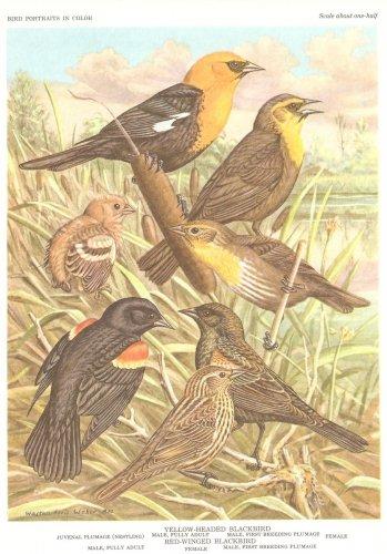 Walter Weber Bird Portrait Blackbird Vintage Print 1960