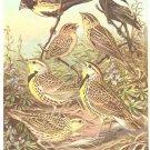 Walter Weber Bird Portrait Meadowlark Vintage Print 1960