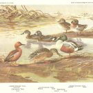 Allan Brooks Bird Portrait Surface Feeding Ducks Print 1960