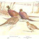 F L Jaques Bird Portrait Pheasant Partridge Print 1960