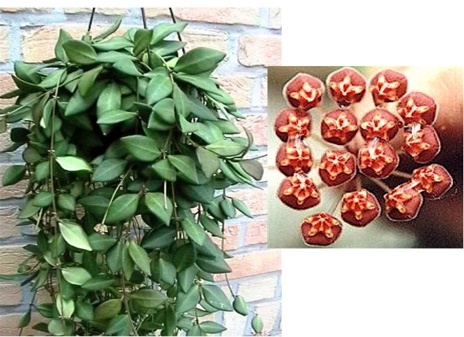 Hoya Tsangii DS-70 Plant   BRICK COLORED BLOOMS!  (5)