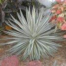 Agave Angustifolia Marginata 15 seeds, Hardy Cactus Succulents!