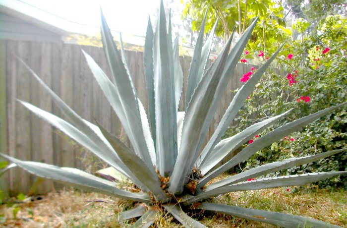 Unknown Blue Agave Americana but gets HUGE, 1 Gallon Plant
