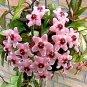 "Hoya Variegated Rubra House Plant  4.5"" Pot"