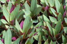 2 Dwarf Tradescantia Rhoeo Oyster Plants PURPLE & GREEN!!