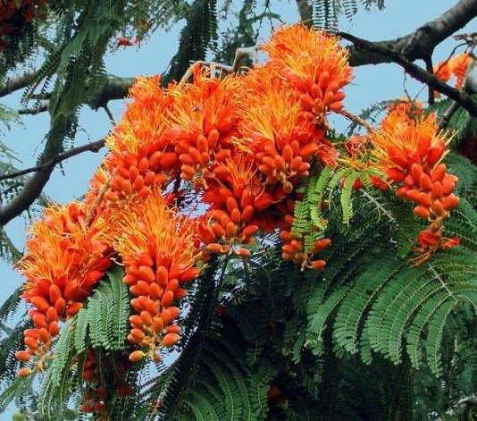 Colvillea Racemosa Tree, Rich Orange Glory MUST SEE!