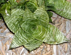 Sanseveria Trifasciata Hahnii Rosette Plant Indoors or out