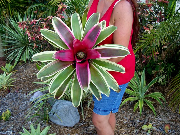 Neoregelia Raphael Bromeliad, easy and fun to grow!