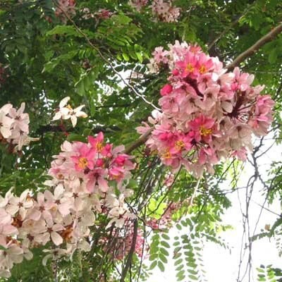 Pink & White Shower Tree, Cassia Javanica 20 Seeds, Flowering Fragrant