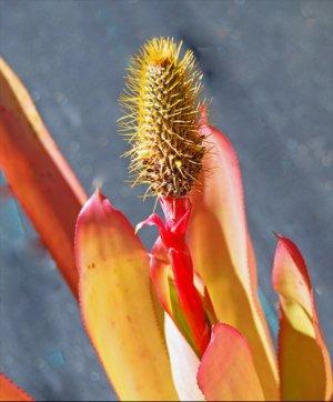 SALE! Bromeliad Aechmea Pineliana House Plant or Garden, Red/Yellow Blooms
