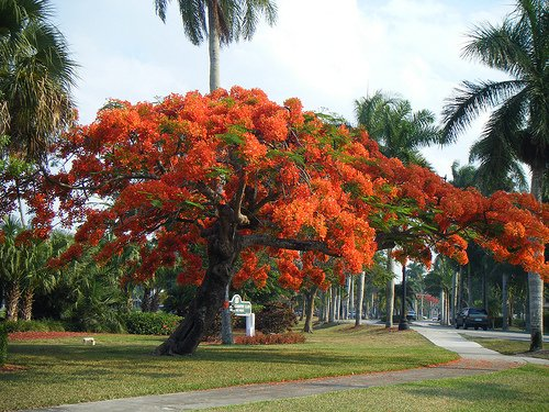 Royal Poinciana Delonix Regia VOTED Most Colorful Tree!