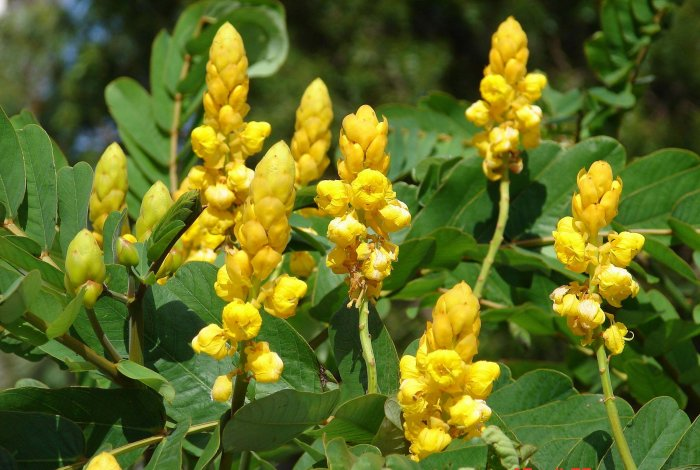 Candlestick  Cassia Alata Shrub or Tree With Blooming Golden Spikes!