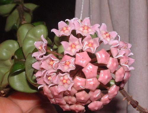"Solid Green Hoya Hindu Wax Rope 4.5"" pot, Unique BLOOMS!"