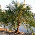 Phoenix Roebelenii, Pygmy Date Palm 15 seeds