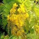 Peltophorum Pterocarpum, Beautiful Copper Pod Tree 10 Seeds