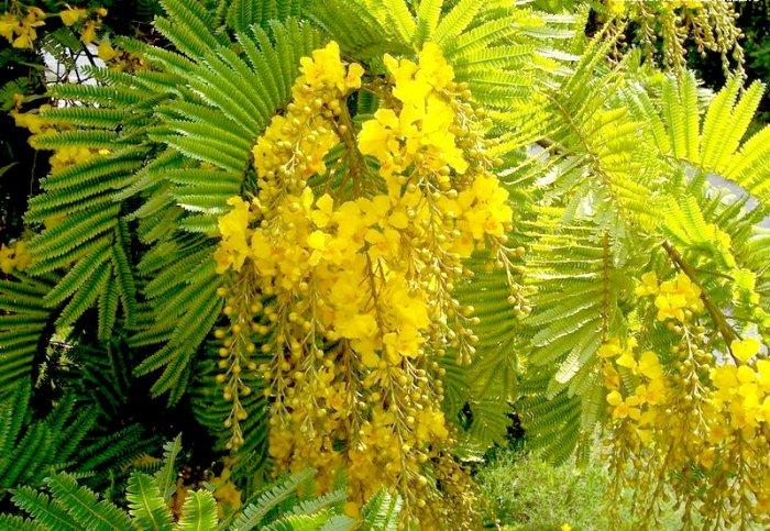Yellow Poinciana Tree! Beautiful Peltophorum / Copper pod