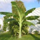 Ensete Glaucum Snow Banana MUSA Massive Flower 5 Seeds