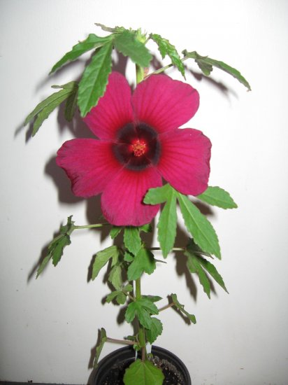 Hibiscus Radiatus Monarch Rosemallow 75 Seeds BULK