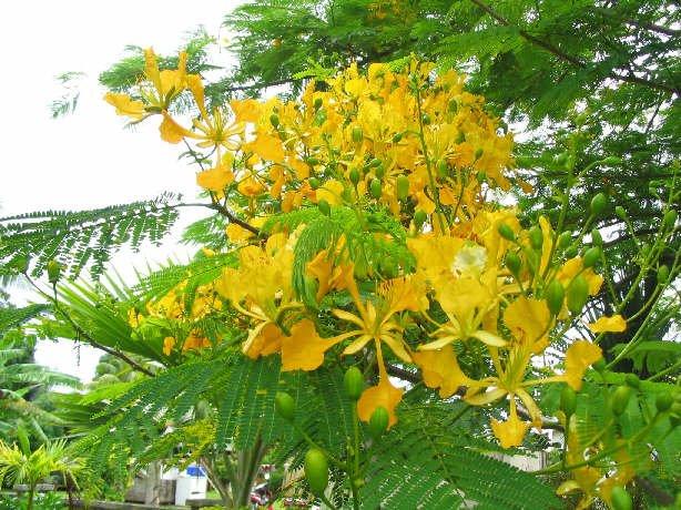 Rare Delonix Regia Var. 'Flavida' or 'Flava', Poinciana Tree!