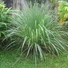 Cymbopogon Citratus Fragrant Lemon Grass 25+ Seeds, Herb Spice Edible Perennial