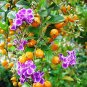 Duranta Erecta, Duranta Repens, Golden Dewdrop Shrub or Tree - 20 Seeds
